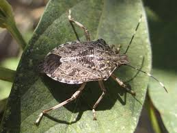 stink bug removal Culver City